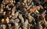 dried-caterpiller