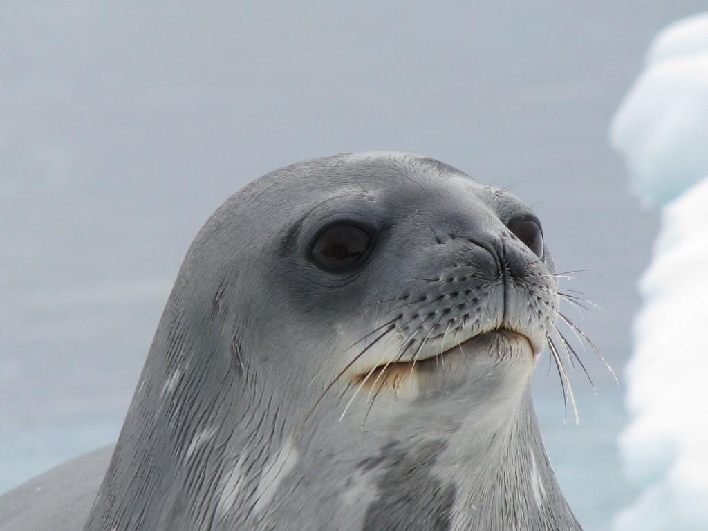 seal head weird things